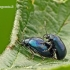 Agelastica alni - Mėlynasis alksniagraužis   Fotografijos autorius : Darius Baužys   © Macrogamta.lt   Šis tinklapis priklauso bendruomenei kuri domisi makro fotografija ir fotografuoja gyvąjį makro pasaulį.