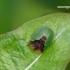 Cassida panzeri - Gelteklinis skydinukas | Fotografijos autorius : Darius Baužys | © Macrogamta.lt | Šis tinklapis priklauso bendruomenei kuri domisi makro fotografija ir fotografuoja gyvąjį makro pasaulį.