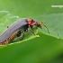 Cantharis fusca - Paprastasis minkštavabalis | Fotografijos autorius : Darius Baužys | © Macrogamta.lt | Šis tinklapis priklauso bendruomenei kuri domisi makro fotografija ir fotografuoja gyvąjį makro pasaulį.