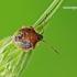 Elasmostethus interstinctus - Krūminė skydblakė   Fotografijos autorius : Darius Baužys   © Macrogamta.lt   Šis tinklapis priklauso bendruomenei kuri domisi makro fotografija ir fotografuoja gyvąjį makro pasaulį.
