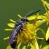 Sphecodes sp. - Bitė   Fotografijos autorius : Darius Baužys   © Macrogamta.lt   Šis tinklapis priklauso bendruomenei kuri domisi makro fotografija ir fotografuoja gyvąjį makro pasaulį.