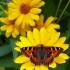 Aglais urticae - Dilgėlinukas | Fotografijos autorius : Darius Baužys | © Macrogamta.lt | Šis tinklapis priklauso bendruomenei kuri domisi makro fotografija ir fotografuoja gyvąjį makro pasaulį.