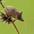 Picromerus bidens - Dvispyglė skydblakė | Fotografijos autorius : Darius Baužys | © Macrogamta.lt | Šis tinklapis priklauso bendruomenei kuri domisi makro fotografija ir fotografuoja gyvąjį makro pasaulį.