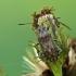 Stictopleurus punctatonervosus - Ryškiapilvė kampuotblakė | Fotografijos autorius : Darius Baužys | © Macrogamta.lt | Šis tinklapis priklauso bendruomenei kuri domisi makro fotografija ir fotografuoja gyvąjį makro pasaulį.