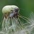 Ryškiapilvė kampuotblakė - Stictopleurus punctatonervosus (Goeze- 1778) | Fotografijos autorius : Darius Baužys | © Macrogamta.lt | Šis tinklapis priklauso bendruomenei kuri domisi makro fotografija ir fotografuoja gyvąjį makro pasaulį.