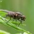 Žiedenė - Anthomyiidae | Fotografijos autorius : Darius Baužys | © Macrogamta.lt | Šis tinklapis priklauso bendruomenei kuri domisi makro fotografija ir fotografuoja gyvąjį makro pasaulį.