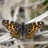 Mažasis dilgėlinukas - Araschnia levana, pavasarinė forma   Fotografijos autorius : Darius Baužys   © Macrogamta.lt   Šis tinklapis priklauso bendruomenei kuri domisi makro fotografija ir fotografuoja gyvąjį makro pasaulį.