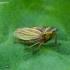 Cikadėlė - Aphrodes makarovi  | Fotografijos autorius : Romas Ferenca | © Macrogamta.lt | Šis tinklapis priklauso bendruomenei kuri domisi makro fotografija ir fotografuoja gyvąjį makro pasaulį.