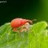 Rūgštyninis apionas - Apion frumentarium (miniatum) | Fotografijos autorius : Romas Ferenca | © Macrogamta.lt | Šis tinklapis priklauso bendruomenei kuri domisi makro fotografija ir fotografuoja gyvąjį makro pasaulį.