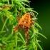 Araneus diadematus - Paprastasis kryžiuotis | Fotografijos autorius : Romas Ferenca | © Macrogamta.lt | Šis tinklapis priklauso bendruomenei kuri domisi makro fotografija ir fotografuoja gyvąjį makro pasaulį.