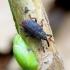 Bradybatus kellneri - Klevinis straubliukas | Fotografijos autorius : Romas Ferenca | © Macrogamta.lt | Šis tinklapis priklauso bendruomenei kuri domisi makro fotografija ir fotografuoja gyvąjį makro pasaulį.