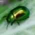 Pipirmėtinis puošnys - Chrysolina herbacea | Fotografijos autorius : Romas Ferenca | © Macrogamta.lt | Šis tinklapis priklauso bendruomenei kuri domisi makro fotografija ir fotografuoja gyvąjį makro pasaulį.