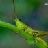 Chrysochraon dispar - Neporinis skėriukas | Fotografijos autorius : Romas Ferenca | © Macrogamta.lt | Šis tinklapis priklauso bendruomenei kuri domisi makro fotografija ir fotografuoja gyvąjį makro pasaulį.