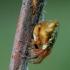 Viengubris kūgiavoris - Cyclosa conica | Fotografijos autorius : Romas Ferenca | © Macrogamta.lt | Šis tinklapis priklauso bendruomenei kuri domisi makro fotografija ir fotografuoja gyvąjį makro pasaulį.