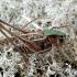 Margasis žiogas - Decticus verrucivorus | Fotografijos autorius : Romas Ferenca | © Macrogamta.lt | Šis tinklapis priklauso bendruomenei kuri domisi makro fotografija ir fotografuoja gyvąjį makro pasaulį.