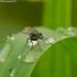 Ilgakojė muselė - Dolichopodidae    Fotografijos autorius : Romas Ferenca   © Macrogamta.lt   Šis tinklapis priklauso bendruomenei kuri domisi makro fotografija ir fotografuoja gyvąjį makro pasaulį.