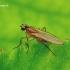 Lonchoptera sp. - Smailiasparnė muselė | Fotografijos autorius : Romas Ferenca | © Macrogamta.lt | Šis tinklapis priklauso bendruomenei kuri domisi makro fotografija ir fotografuoja gyvąjį makro pasaulį.