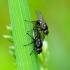 Minamusės - Metopomyza flavonotata | Fotografijos autorius : Romas Ferenca | © Macrogamta.lt | Šis tinklapis priklauso bendruomenei kuri domisi makro fotografija ir fotografuoja gyvąjį makro pasaulį.