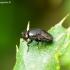 Krantinukė - Discomyza incurva | Fotografijos autorius : Romas Ferenca | © Macrogamta.lt | Šis tinklapis priklauso bendruomenei kuri domisi makro fotografija ir fotografuoja gyvąjį makro pasaulį.