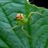 Ebrechtella tricuspidata - Lapinis žiedulis   Fotografijos autorius : Romas Ferenca   © Macrogamta.lt   Šis tinklapis priklauso bendruomenei kuri domisi makro fotografija ir fotografuoja gyvąjį makro pasaulį.