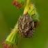 Eurygaster testudinaria - Lenktagalvė vėžliablakė | Fotografijos autorius : Romas Ferenca | © Macrogamta.lt | Šis tinklapis priklauso bendruomenei kuri domisi makro fotografija ir fotografuoja gyvąjį makro pasaulį.