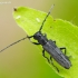 Juodaūsis stiebalindis - Phytoecia nigricornis   Fotografijos autorius : Romas Ferenca   © Macrogamta.lt   Šis tinklapis priklauso bendruomenei kuri domisi makro fotografija ir fotografuoja gyvąjį makro pasaulį.