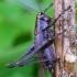 Keršasis žiogas - Pholidoptera griseoaptera | Fotografijos autorius : Romas Ferenca | © Macrogamta.lt | Šis tinklapis priklauso bendruomenei kuri domisi makro fotografija ir fotografuoja gyvąjį makro pasaulį.