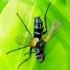 Phyllomya volvulus - Dygliamusė | Fotografijos autorius : Romas Ferenca | © Macrogamta.lt | Šis tinklapis priklauso bendruomenei kuri domisi makro fotografija ir fotografuoja gyvąjį makro pasaulį.