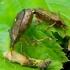 Dvispyglė skydblakė - Picromerus bidens   Fotografijos autorius : Romas Ferenca   © Macrogamta.lt   Šis tinklapis priklauso bendruomenei kuri domisi makro fotografija ir fotografuoja gyvąjį makro pasaulį.