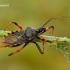 Rhynocoris annulatus - Žieduotoji plėšriablakė | Fotografijos autorius : Romas Ferenca | © Macrogamta.lt | Šis tinklapis priklauso bendruomenei kuri domisi makro fotografija ir fotografuoja gyvąjį makro pasaulį.