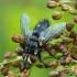 Exorista larvarum - Dygliamusė | Fotografijos autorius : Romas Ferenca | © Macrogamta.lt | Šis tinklapis priklauso bendruomenei kuri domisi makro fotografija ir fotografuoja gyvąjį makro pasaulį.