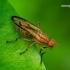 Tetanocera elata - Sraigžudė | Fotografijos autorius : Romas Ferenca | © Macrogamta.lt | Šis tinklapis priklauso bendruomenei kuri domisi makro fotografija ir fotografuoja gyvąjį makro pasaulį.