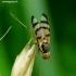 Urophora jaceana - Margasparnė | Fotografijos autorius : Romas Ferenca | © Macrogamta.lt | Šis tinklapis priklauso bendruomenei kuri domisi makro fotografija ir fotografuoja gyvąjį makro pasaulį.