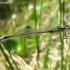 Elegantiškoji strėliukė - Ischnura elegans, patinas | Fotografijos autorius : Giedrius Švitra | © Macrogamta.lt | Šis tinklapis priklauso bendruomenei kuri domisi makro fotografija ir fotografuoja gyvąjį makro pasaulį.