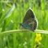 Baltajuostis melsvys - Eumedonia eumedon | Fotografijos autorius : Giedrius Švitra | © Macrogamta.lt | Šis tinklapis priklauso bendruomenei kuri domisi makro fotografija ir fotografuoja gyvąjį makro pasaulį.