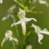 Dvilapė blandis - Platanthera bifolia | Fotografijos autorius : Nomeda Vėlavičienė | © Macrogamta.lt | Šis tinklapis priklauso bendruomenei kuri domisi makro fotografija ir fotografuoja gyvąjį makro pasaulį.