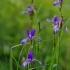 Sibirinis vilkdalgis - Iris sibirica | Fotografijos autorius : Nomeda Vėlavičienė | © Macrogamta.lt | Šis tinklapis priklauso bendruomenei kuri domisi makro fotografija ir fotografuoja gyvąjį makro pasaulį.