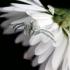 Misumena vatia - Geltonasis žiedvoris | Fotografijos autorius : Valdimantas Grigonis | © Macrogamta.lt | Šis tinklapis priklauso bendruomenei kuri domisi makro fotografija ir fotografuoja gyvąjį makro pasaulį.