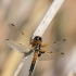 Keturtaškė skėtė - Libellula quadrimaculata  | Fotografijos autorius : Valdimantas Grigonis | © Macrogamta.lt | Šis tinklapis priklauso bendruomenei kuri domisi makro fotografija ir fotografuoja gyvąjį makro pasaulį.