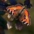 Aglais urticae - Dilgėlinukas | Fotografijos autorius : Valdimantas Grigonis | © Macrogamta.lt | Šis tinklapis priklauso bendruomenei kuri domisi makro fotografija ir fotografuoja gyvąjį makro pasaulį.