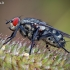 Mėsmusė - Sarcophaga sp. | Fotografijos autorius : Vilius Grigaliūnas | © Macrogamta.lt | Šis tinklapis priklauso bendruomenei kuri domisi makro fotografija ir fotografuoja gyvąjį makro pasaulį.