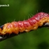Cossus cossus - Kvapusis / Gluosninis medgręžis | Fotografijos autorius : Vilius Grigaliūnas | © Macrogamta.lt | Šis tinklapis priklauso bendruomenei kuri domisi makro fotografija ir fotografuoja gyvąjį makro pasaulį.