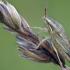 Smailiagalvė skydblakė - Aelia acuminata  | Fotografijos autorius : Vilius Grigaliūnas | © Macrogamta.lt | Šis tinklapis priklauso bendruomenei kuri domisi makro fotografija ir fotografuoja gyvąjį makro pasaulį.