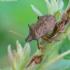 Picromerus bidens - Dvispyglė skydblakė   Fotografijos autorius : Gediminas Gražulevičius   © Macrogamta.lt   Šis tinklapis priklauso bendruomenei kuri domisi makro fotografija ir fotografuoja gyvąjį makro pasaulį.