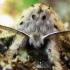 Didysis dviuodegis - Cerura vinula | Fotografijos autorius : Rasa Gražulevičiūtė | © Macrogamta.lt | Šis tinklapis priklauso bendruomenei kuri domisi makro fotografija ir fotografuoja gyvąjį makro pasaulį.