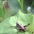 Pholidoptera griseoaptera - Keršasis žiogas | Fotografijos autorius : Gediminas Gražulevičius | © Macrogamta.lt | Šis tinklapis priklauso bendruomenei kuri domisi makro fotografija ir fotografuoja gyvąjį makro pasaulį.