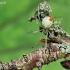Pinkliavoris - Enoplognatha sp. | Fotografijos autorius : Armandas Kazlauskas | © Macrogamta.lt | Šis tinklapis priklauso bendruomenei kuri domisi makro fotografija ir fotografuoja gyvąjį makro pasaulį.