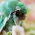 Žaliasis naktinukas - Calamia tridens  | Fotografijos autorius : Oskaras Venckus | © Macrogamta.lt | Šis tinklapis priklauso bendruomenei kuri domisi makro fotografija ir fotografuoja gyvąjį makro pasaulį.