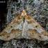 Didysis žiemsprindis - Erannis defoliaria  | Fotografijos autorius : Oskaras Venckus | © Macrogamta.lt | Šis tinklapis priklauso bendruomenei kuri domisi makro fotografija ir fotografuoja gyvąjį makro pasaulį.