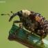 Bervidinis straubliukas - Cionus scrophulariae | Fotografijos autorius : Oskaras Venckus | © Macrogamta.lt | Šis tinklapis priklauso bendruomenei kuri domisi makro fotografija ir fotografuoja gyvąjį makro pasaulį.